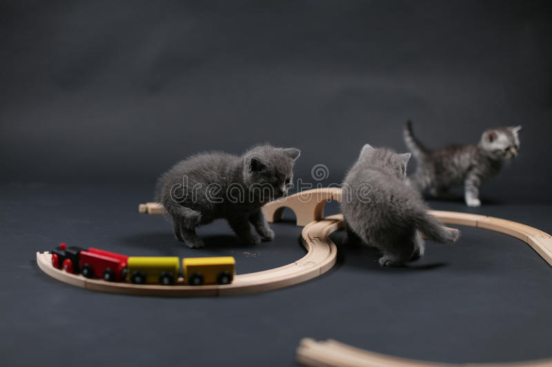 Cute kitten playing with a wooden train. British Shorthair kitten playing with some wood toys, train railway stock images