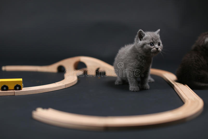 Cute kitten playing with a wooden train. British Shorthair kitten playing with some wood toys, train railway royalty free stock image