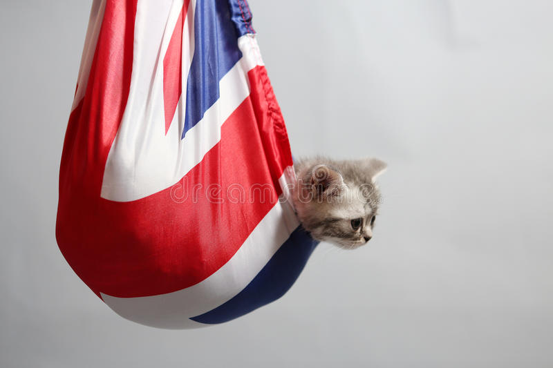 Cute kitten in a sack. British Shorthair kitten staying in a Union Jack flag sack stock photo