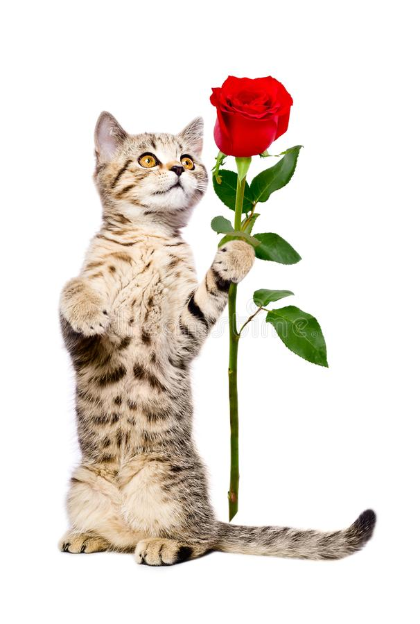 Cute kitten Scottish Straight with a rose. Standing on its hind legs, isolated on white background royalty free stock images