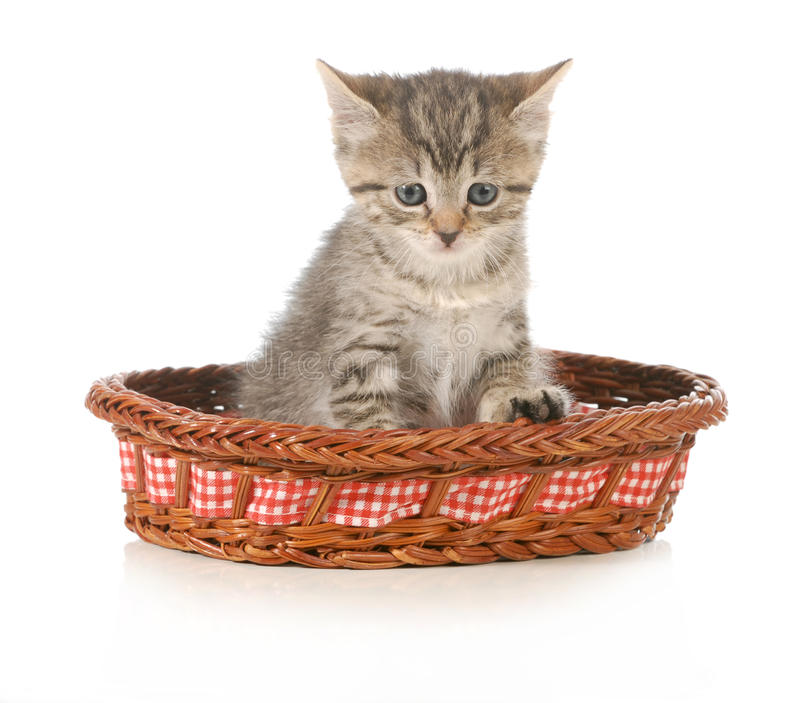 Cute kitten. Sitting in a basket isolated on white background royalty free stock photography