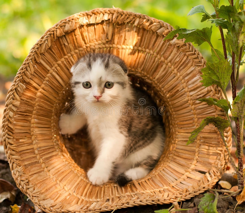 Cute kitten two month outdoor. Cute scottish kitten two month outdoor at summer royalty free stock photo