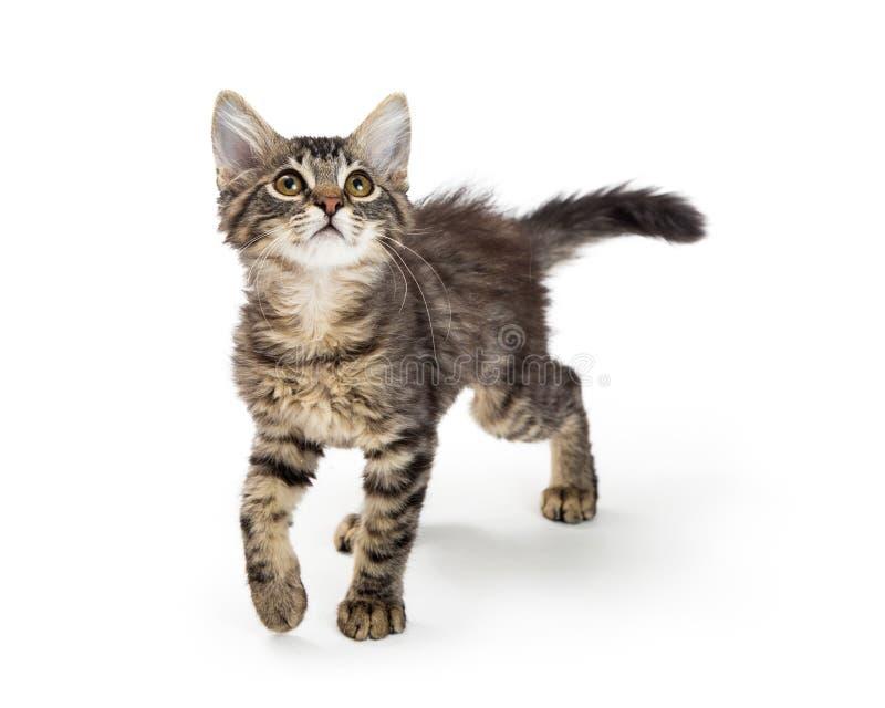 Cute Kitten Walking Forward Looking Up royalty free stock image