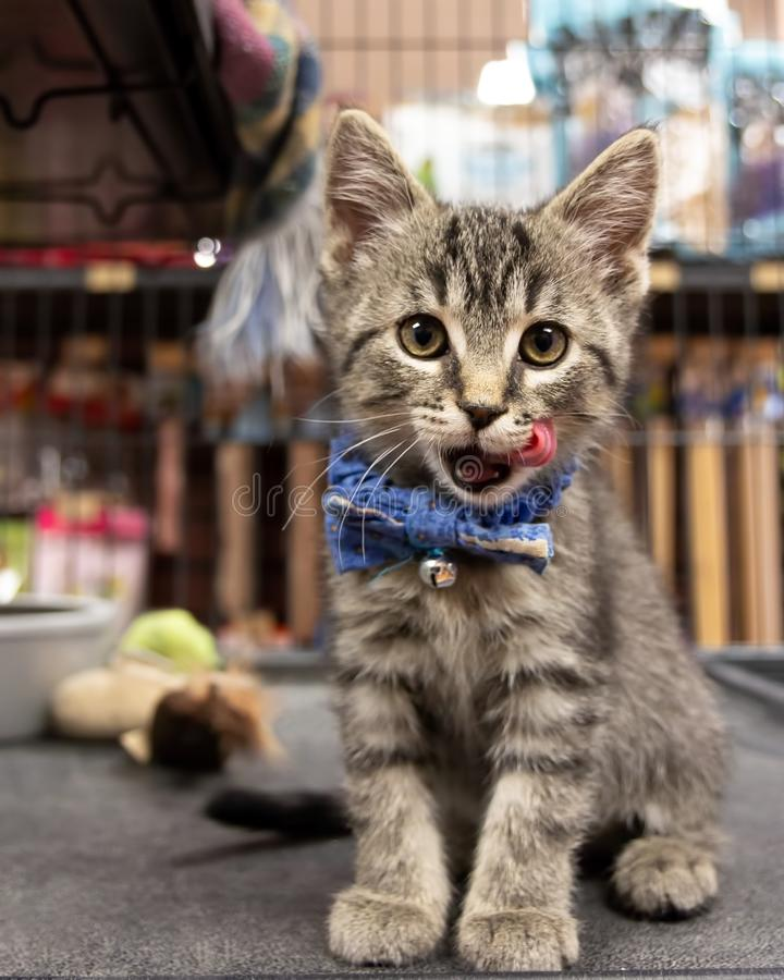 A Cute Kitten Wearing a Bow Tie and Waiting For Adoption at a Pet royalty free stock image