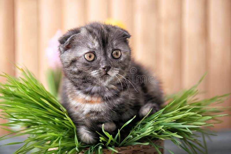 Cute kitten in wicker pot with green grass at home stock photography