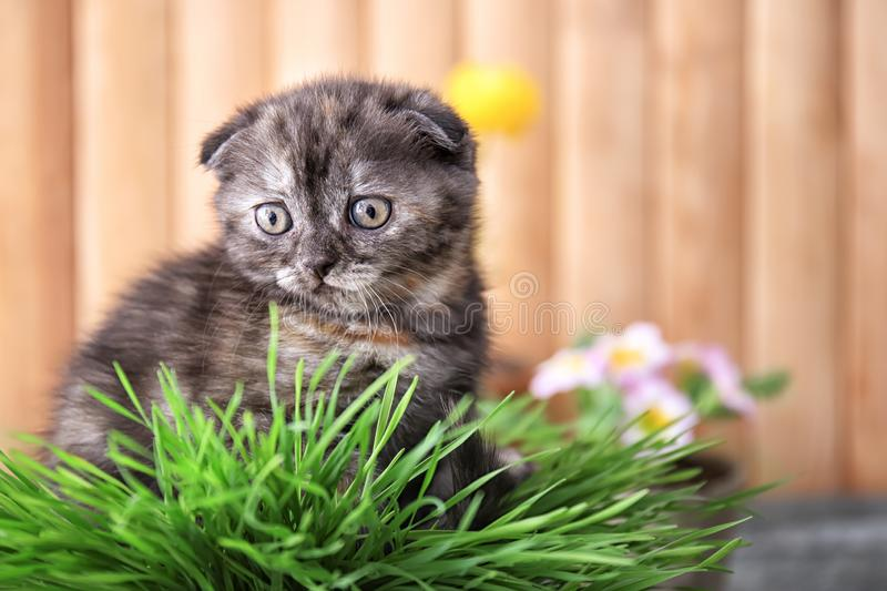 Cute kitten in wicker pot with green grass at home royalty free stock photo
