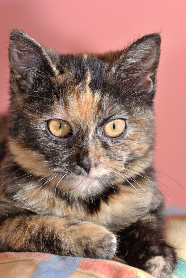 Free Cute Kitten With Rare Tortoise Fur Royalty Free Stock Image - 50549266