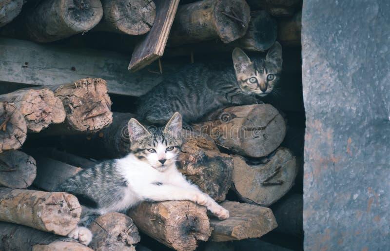 wild cats royalty free stock photos