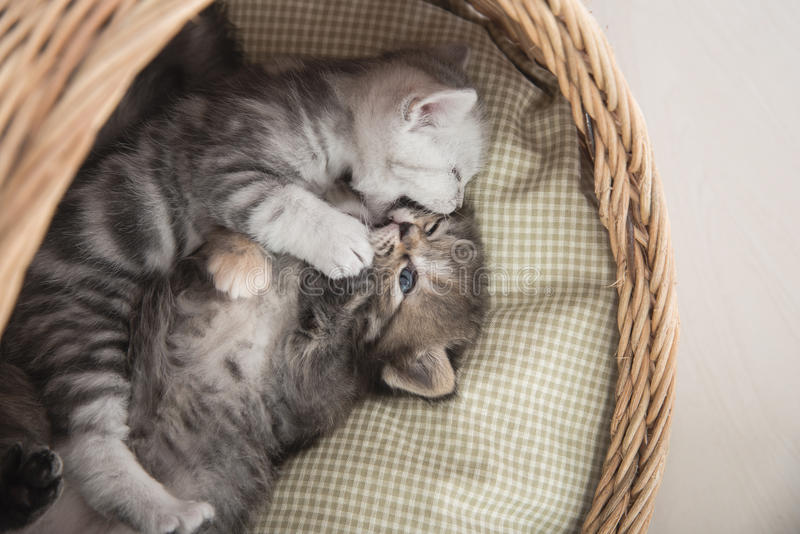 Cute kittens playing in wicker bed royalty free stock photo