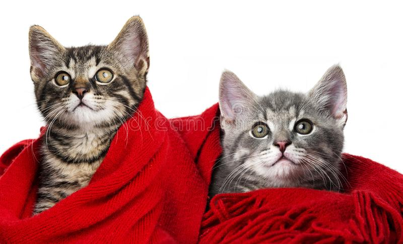 Cute kittens with a red scarf. On white stock photography