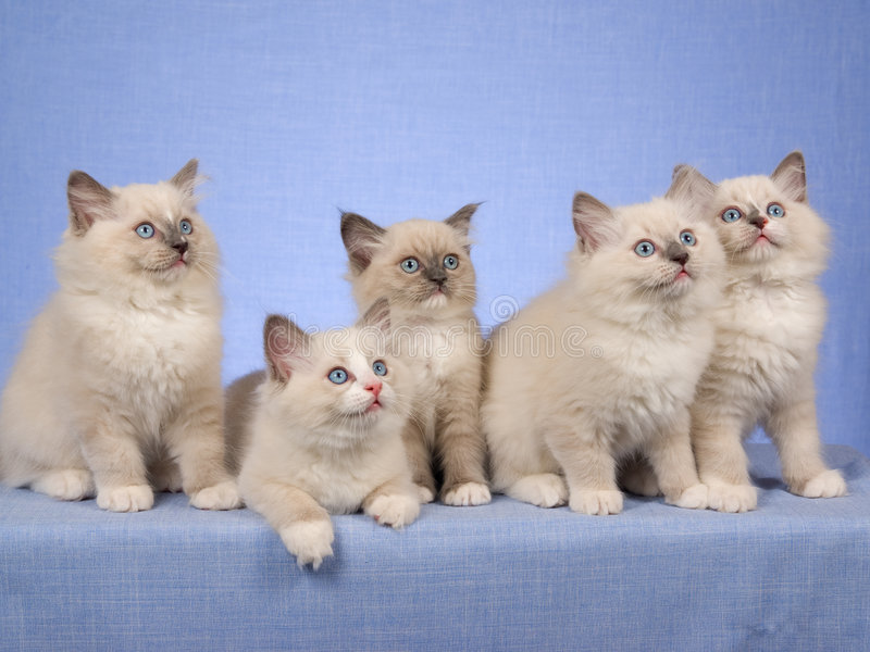 Cute Kittens In A Row On Blue Stock Image - Image: 8448697