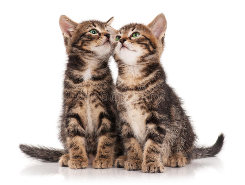 Cute kittens. Two serious cute kittens isolated on white background cutout stock images
