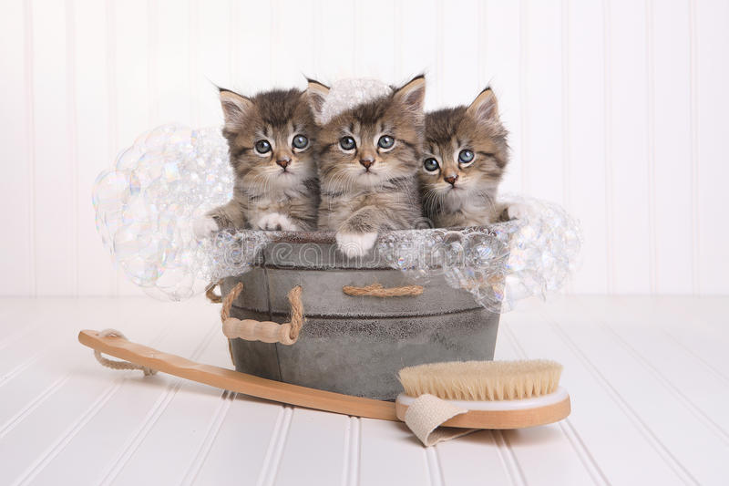 Cute Kittens in Washtub Getting Groomed By Bubble Bath. Kittens in Washtub Getting Groomed By Bubble Bath stock photography