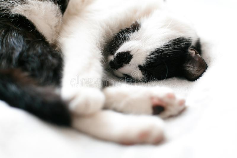 Cute kitty adorable sleeping on white bed. Sweet black and white cat resting on bed, sleeping in morning. Soft, comfortable and stock photography