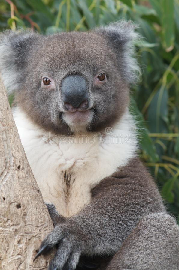 Cute koala stock images