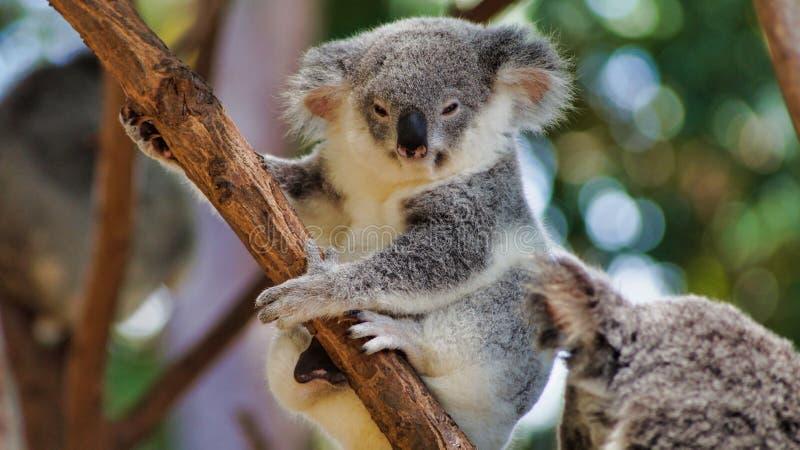 Cute koala bear sitting on tree. Cute koala bear Phascolarctos cinereus sitting on tree in Queensland, Australia royalty free stock image