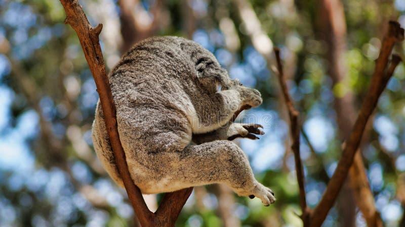 Cute koala bear sitting and sleeping on tree. Cute koala bear Phascolarctos cinereus sitting and sleeping on tree in Queensland, Australia stock photo