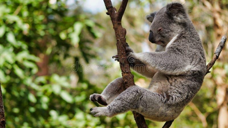 Cute koala bear sitting on tree. Cute koala bear Phascolarctos cinereus sitting and sleeping on tree in Queensland, Australia stock photography