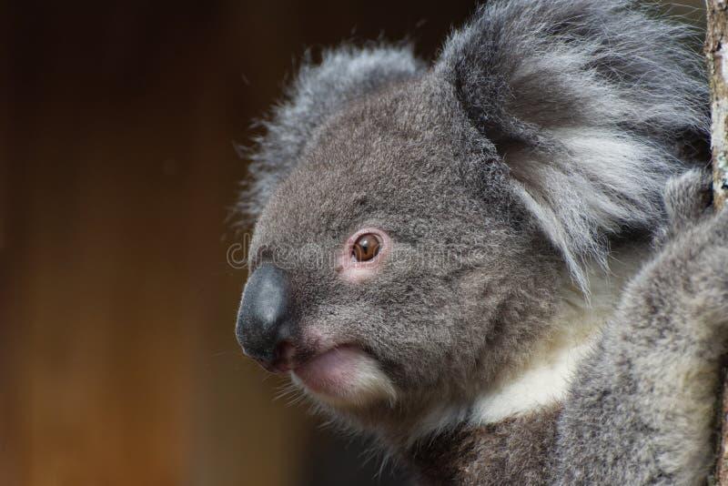 Koala Phascolarctos cinereus / portrait. A cute Koala close up. One of Australia`s unique and very cute marsupial native mammals royalty free stock photo