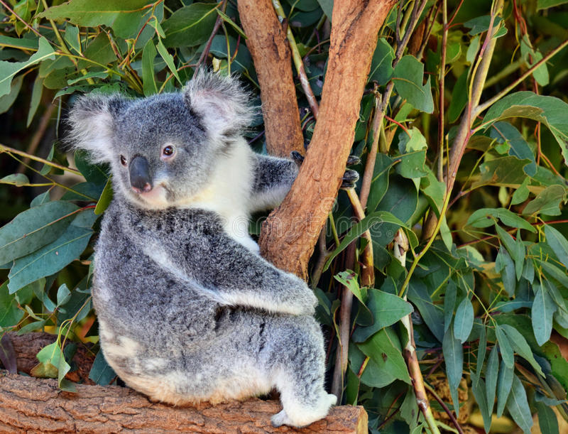 Cute koala looking on a tree branch eucalyptus royalty free stock image