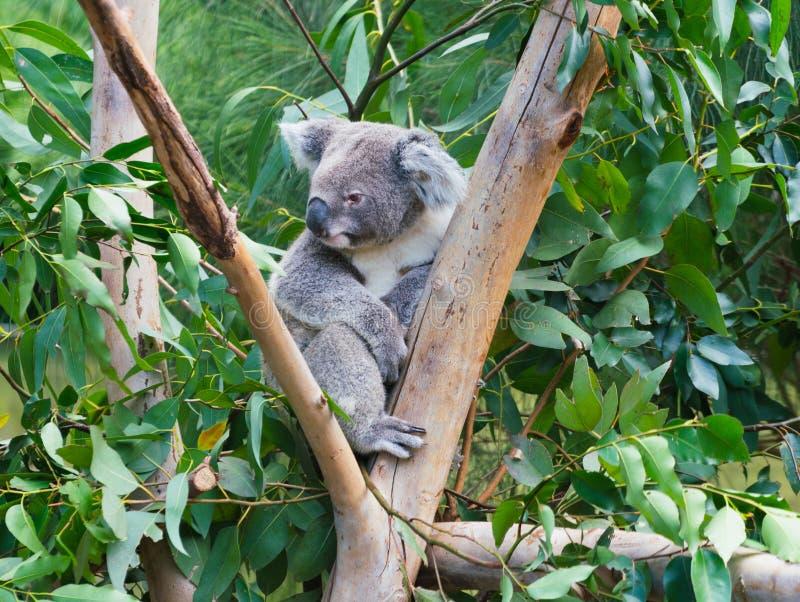 Cute koala Phascolarctos cinereus on tree branch royalty free stock image