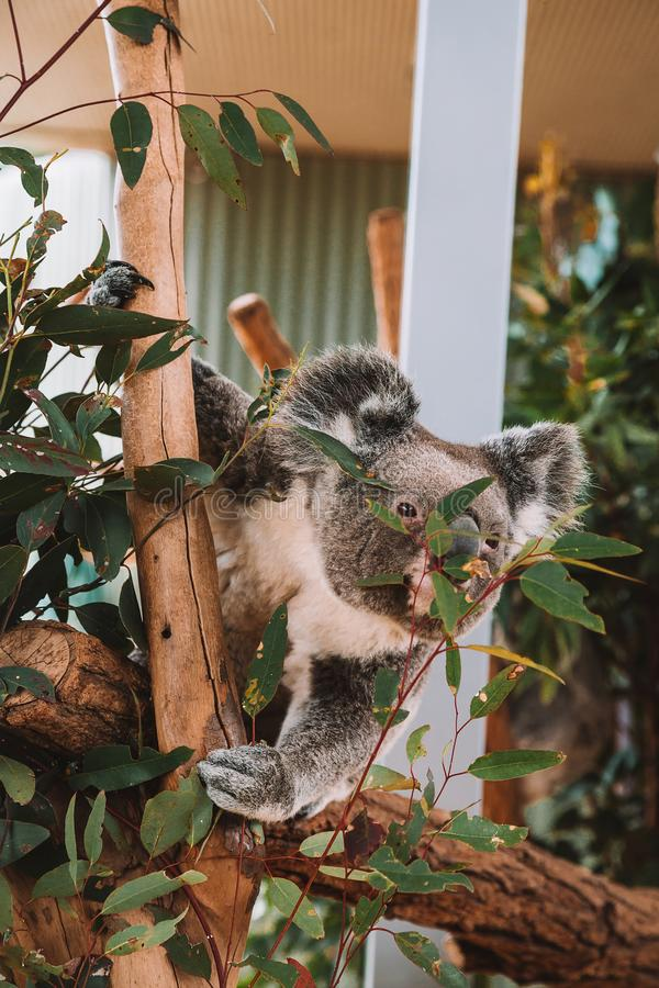 Cute Koala Playing in a Tree royalty free stock photography