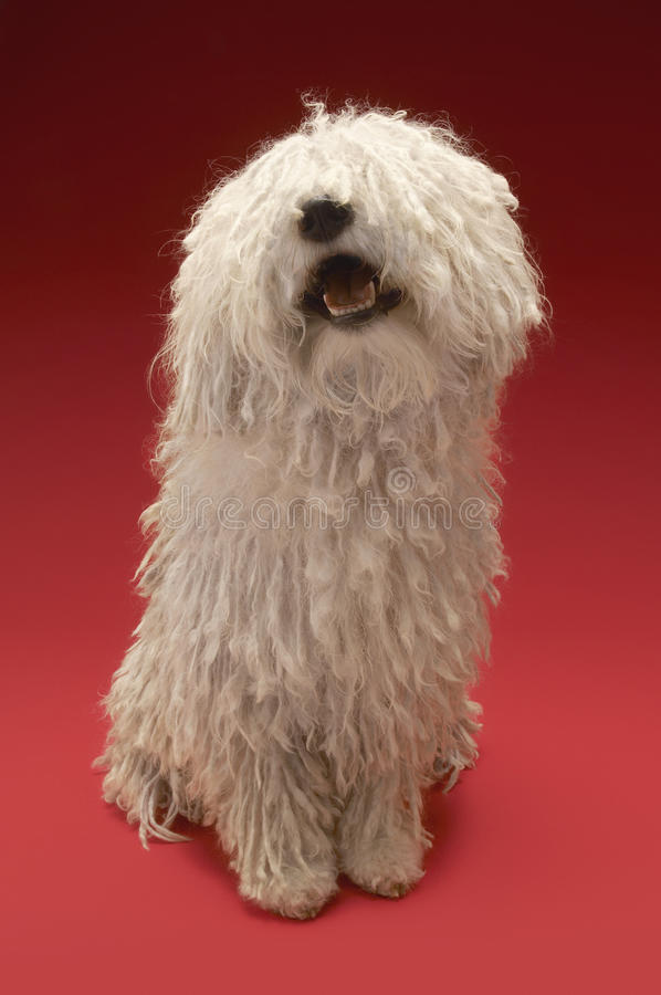 Cute Komondor On Red Background stock photography
