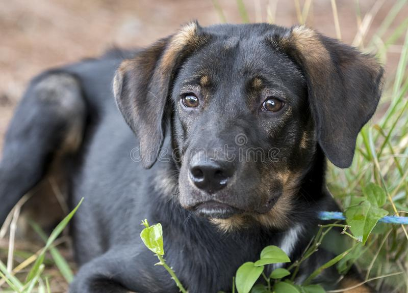 Cute Lab Shepherd mixed breed dog laying down outside. Young black and tan shepherd lab hound mixed breed puppy dog laying down outside. Animal shelter humane royalty free stock photo