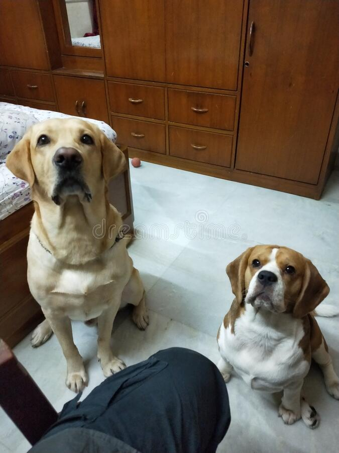 Cute Labrador Dog & Beagle Puppy on their Training days. Looking exited for their next treat royalty free stock photo