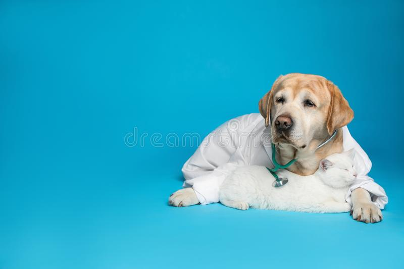 Cute Labrador dog in uniform with stethoscope as veterinarian and cat on blue background. Space for text. Cute Labrador dog in uniform with stethoscope as stock photos