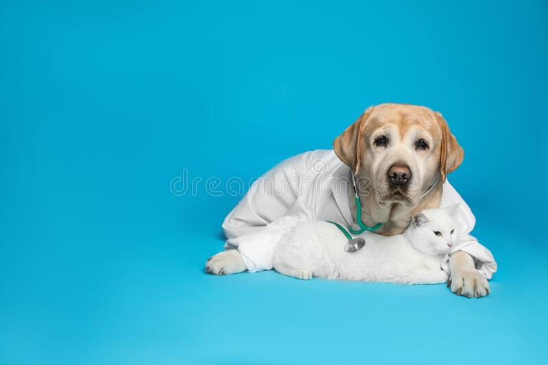 Cute Labrador dog in uniform with stethoscope as veterinarian and cat. On light blue background stock photos
