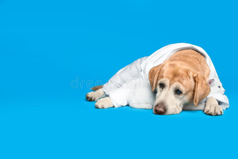 Cute Labrador dog in uniform with stethoscope as veterinarian and cat on blue background. Cute Labrador dog in uniform with stethoscope as veterinarian and cat royalty free stock image