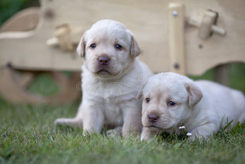 Cute labrador puppies royalty free stock image