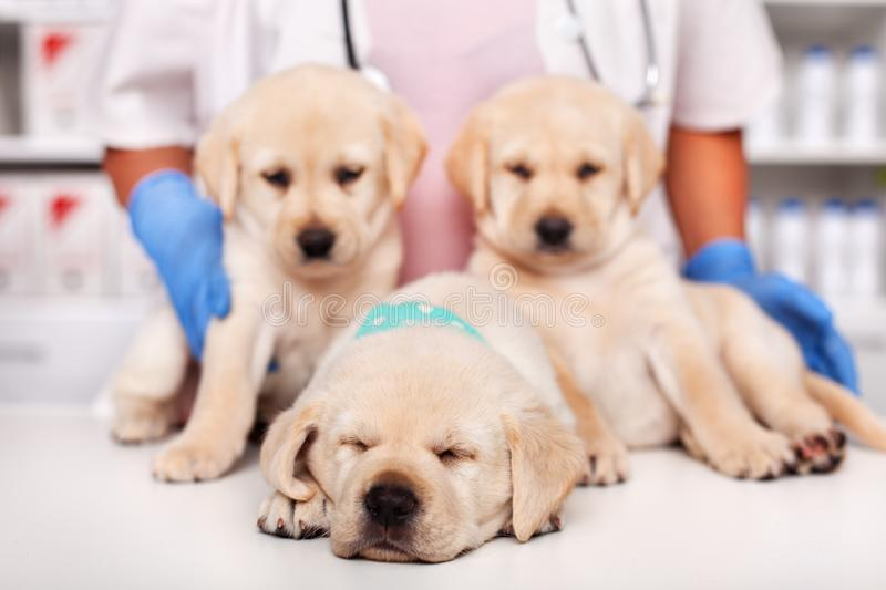 Cute labrador puppies at the veterinary doctor office - with one exhausted sleeping puppy royalty free stock photography