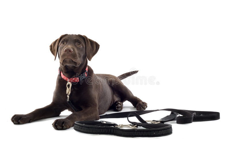 Cute Labrador puppy royalty free stock images