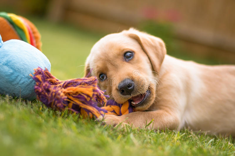 Cute Labrador puppy chewing toy royalty free stock photography