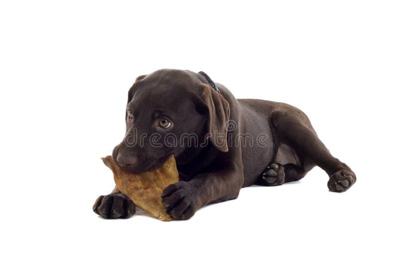 Cute Labrador puppy dog royalty free stock photo