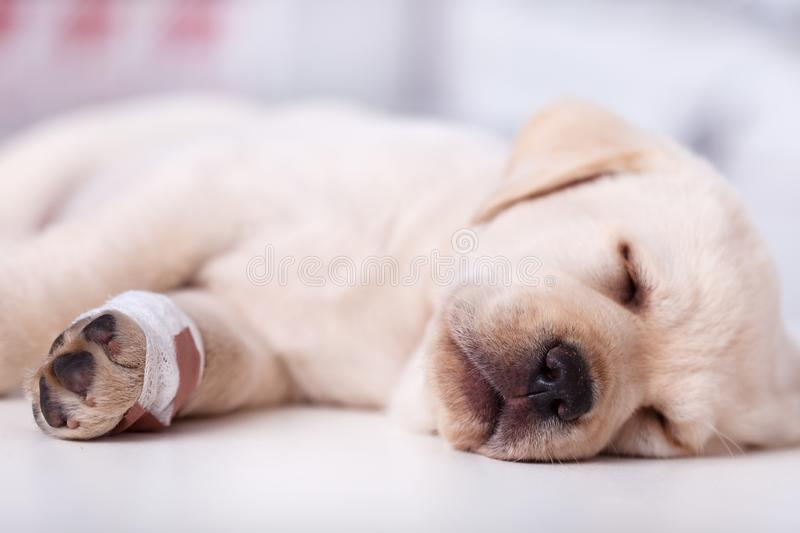 Cute labrador puppy dog with injured leg sleeping royalty free stock photos