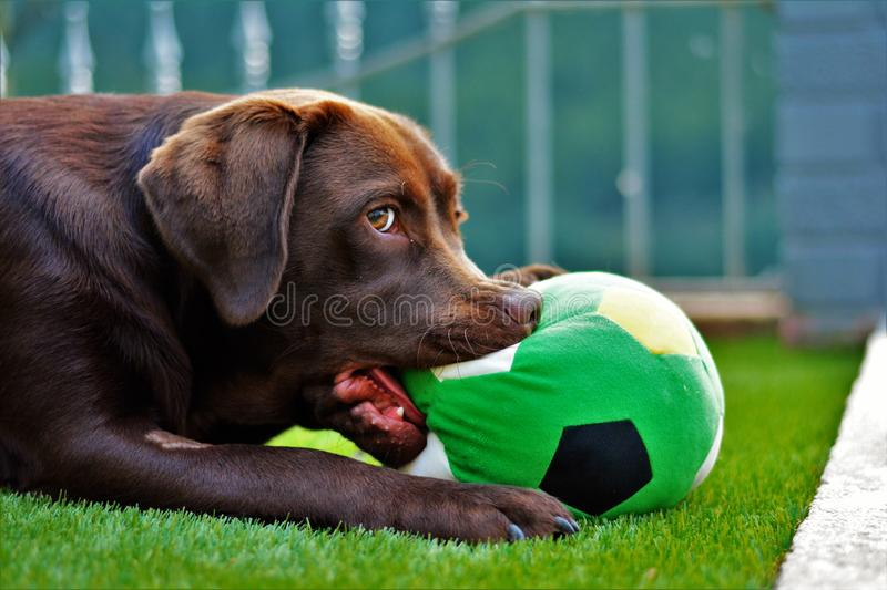 Cute labrador puppy in green grass on a summer day with ball royalty free stock image