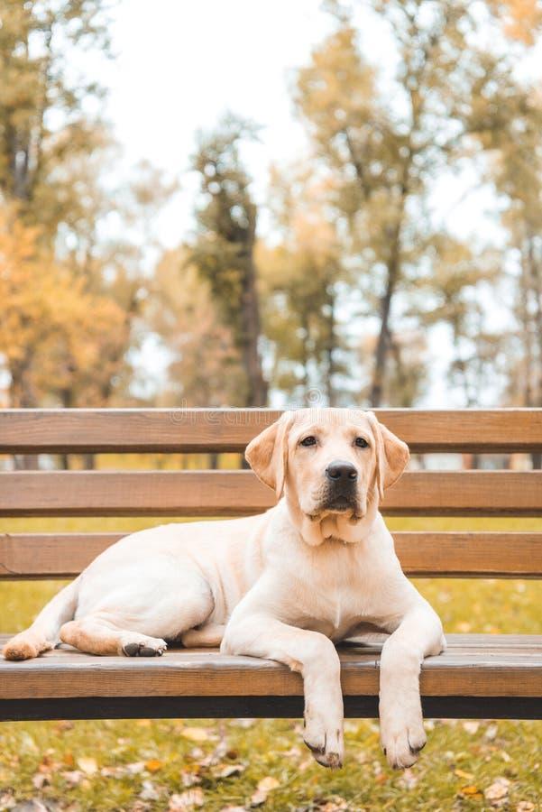 cute labrador retriever dog lying on bench stock photos