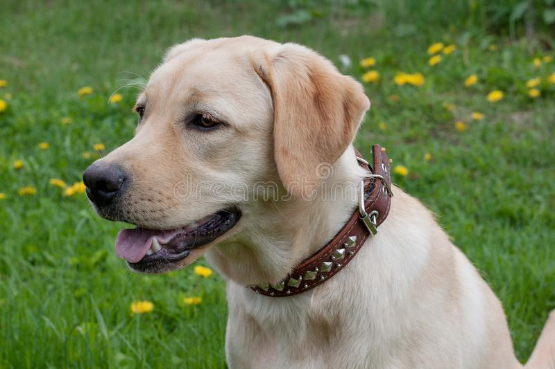 Cute labrador retriever is sitting on a green meadow. Pet animals. royalty free stock photos