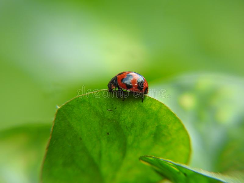 Cute lady bug on a leaf stock photo