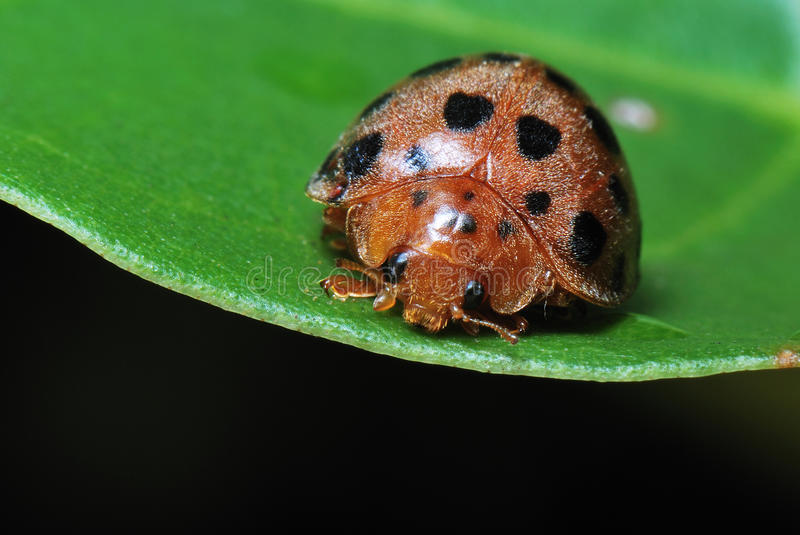 A Cute Ladybird stock photography