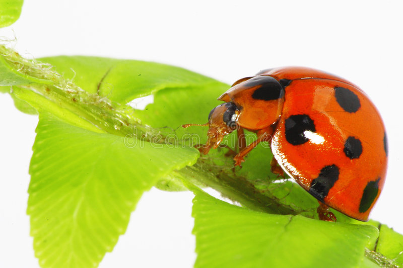 Download Cute ladybug stock photo. Image of peace, fresh, insect - 4800418