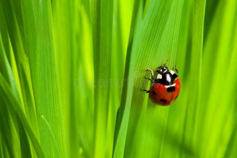 Cute ladybug on the grass. Macro shoot of ladybug on the grass stock images