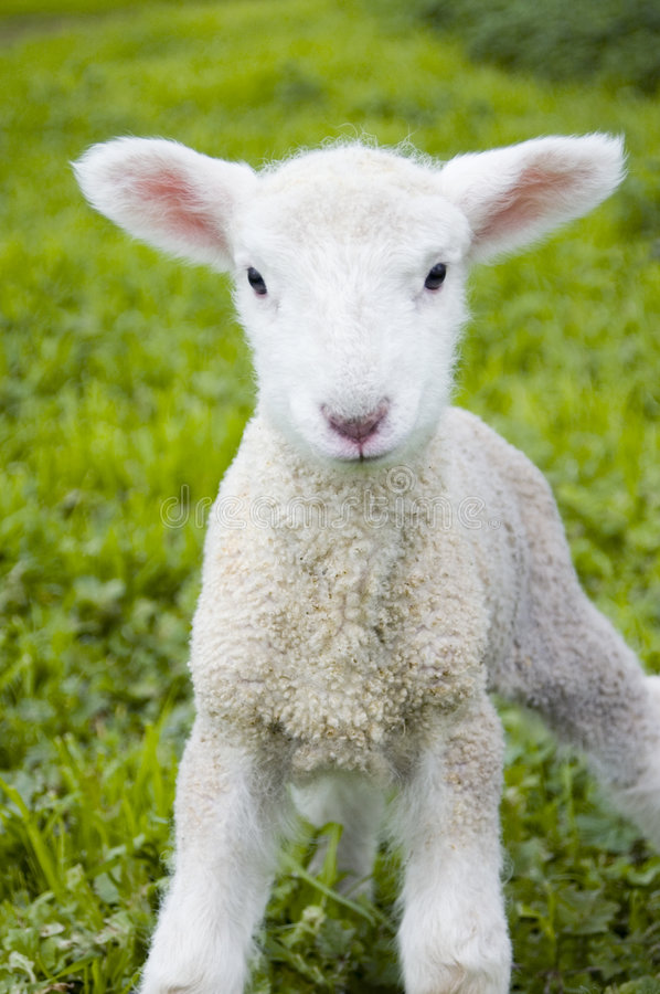 Download Cute lamb stock image. Image of naive, farm, grass, little - 1287671
