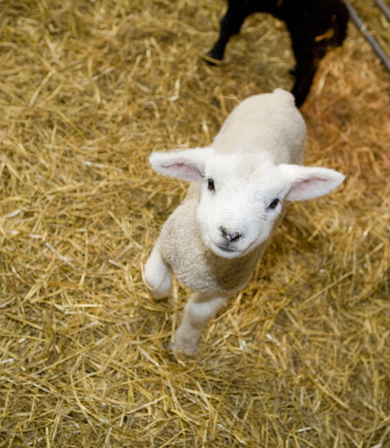 Download Cute Lamb stock photo. Image of farm, space, agriculture - 25074242
