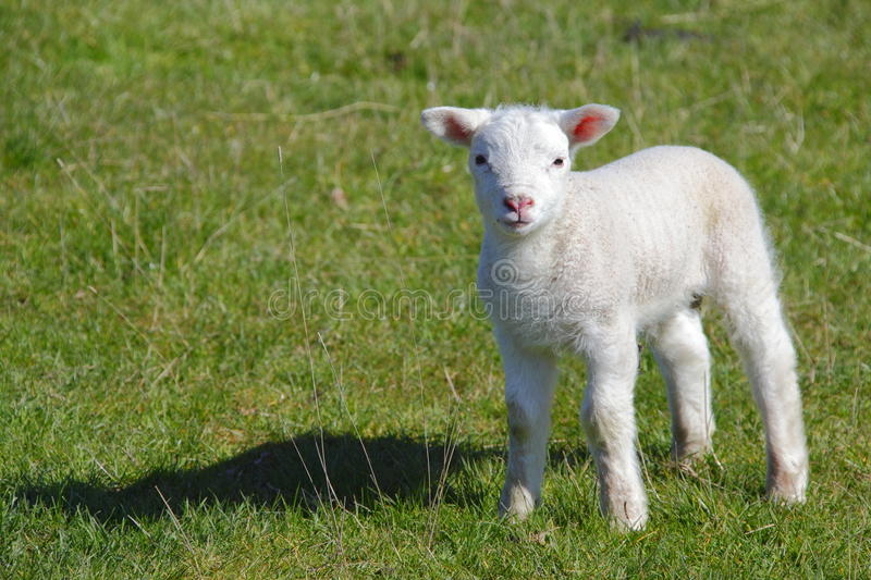 Cute Lamb Stock Photography