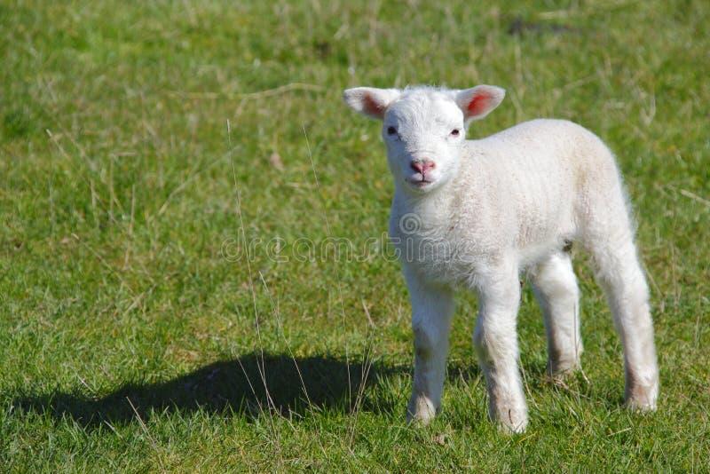 Cute lamb stock photo. Image of animal, seasonal ...