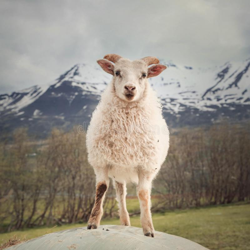 Free Cute Lamb From Iceland Royalty Free Stock Images - 114569849
